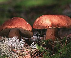 Delicious boletus, a mushroom growing wild in Finland
