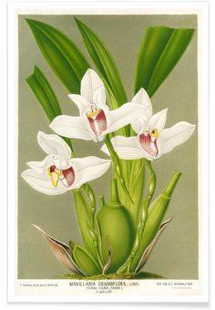 Maxillaria Orchid als Premium Poster von Vintage Art Archive | JUNIQE
