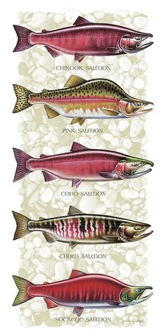 Five Salmon Species  Painting by JQ Licensing