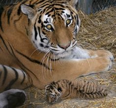 It's International Tiger Day (7/29/14), and the Indianapolis Zoo is celebrating in a special way.  The zoo's family just got bigger with a newborn tiger cub. The cub brings the number of Amur tigers at the zoo to four.