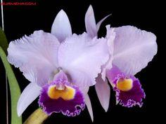 Cattleya trianae orlata Clon : Rancho Sereno Grower: Theodoro Seidler Tomado de SuaMena Orchids