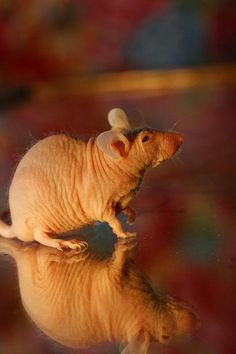 hairless mouse, this one is about six months old Hamsters, Rodents, Hairless Rat, Pet Rats, Weird Creatures, Mice, Bugs, Addiction, Pokemon