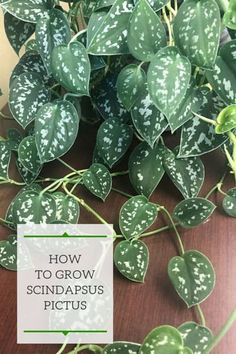 How to grow the beautiful Scindapsus pictus also known as Silver Philodendron Satin Pothos or Silver Pothos. Learn all about the light water soil fertilizer and propagation requirements of this Pothos Plant, Plant Cuttings, Easy House Plants, Garden Plants, Outdoor Plants, Plants Indoor, Indoor Gardening, Balcony Gardening, Gardening Tips