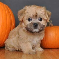 """Brussels Sprout (yes real name!) Brussels Griffon + Maltese """"Designer Puppy"""""""