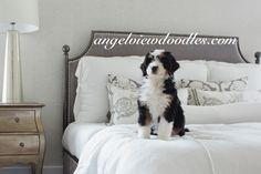 Bernedoodle & Goldendoodle Breeder