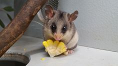 Mountain pygmy possum William is bulking up for winter and nibbling on some corn. The average mountain pygmy possum weighs around 40 grams but they put on at least another 40 grams before winter so they can survive through their hibernation period which can last from 5-7 months.