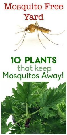 Keep your yard and garden mosquito free! Here are 10 plants that will help keep those pesky insects away naturally.