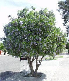 """""""I've been looking for a small tree to go in the back corner of my new courtyard, something with soft noninvasive roots and a low canopy for privacy. Texas Mountain Laurel is perfect with its gorgeous purple flowers and grape Kool-Aid fragrance."""