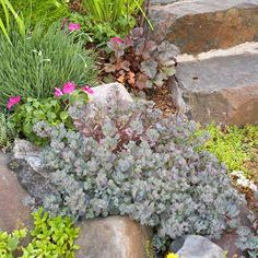 Luv me some sedum! Sedum sieboldii Growing Conditions: Full sun and well-drained soil Plant Size: To 6 inches tall and 10 inches wide Zones: Rock Garden Plants, Shade Garden, Japanese Painted Fern, Silver Plant, Blue Fescue, Blue Plants, Shade Plants, Helichrysum Italicum, Gardens