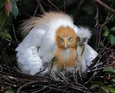 Cattle Egret, taken at Pinglin, Taipei County, TAIWAN  #602 黃鷺依慈 (Family Portrait) by John, via Flickr