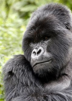 Silverback Gorilla #Africa... looks like this big guy is taking a quiet moment to pray to God.