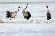 Cranes in a field in the northern state of Mecklenburg-Western Pomerania in...