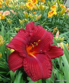 Hemerocallis BLACK PRINCE 1x Staude Pflanze Taglilie