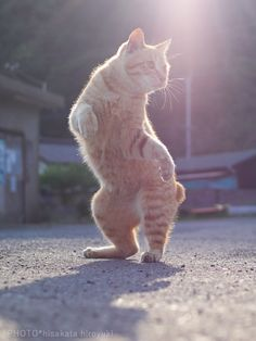 30 Of The Funniest Dancing Cat Pics 30 Of The Funniest Dancing Cat Pics,Not only CATs Funny-Dancing-Cats Related posts:Wheres my bollz - TaylorBeschreibt euch oder andere User in Bildern/gifs! I Love Cats, Crazy Cats, Cool Cats, Funny Cat Images, Funny Cats, Photos Originales, Dancing Cat, Dance Humor, Beautiful Cats