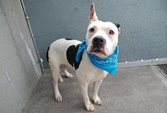 Brooklyn Center MELLOW - A0961969 MALE, WHT/BLK, PIT BULL MIX, 3 yrs- STRAY Intake 4/12/13, From NY 11691,Old scar behind left ear and on right paw Weight 50.8 Original Thread: https://www.facebook.com/photo.php?fbid=596455083700708=a.161896980489856.39457.152876678058553=3