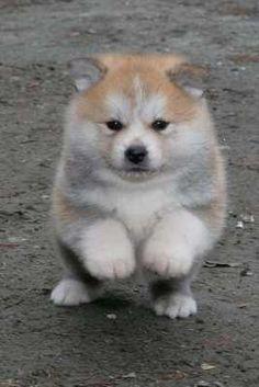 @Vicki Marston this site calls them Akita Inu puppies instead of Shiba Inu. Weird.