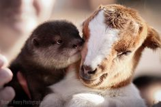 Everyone knows that otters are superior cuddlers and weve obviously got a bashful goat here. So the otter is teaching the goat the art of cuddling. Have a pen and paper? Because you should be taking notes. Super Cute Animals, Cute Baby Animals, Funny Animals, Otter Love, Unlikely Friends, Baby Otters, Baby Goats, Tier Fotos, Fauna
