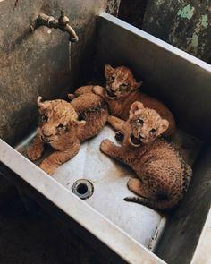 Katzen Katze Haustier süß - dort ze zeleniny a salámů - Cute Creatures, Beautiful Creatures, Animals Beautiful, Cute Puppies, Cute Dogs, Dogs And Puppies, Shitzu Puppies, Husky Puppy, Baby Dogs