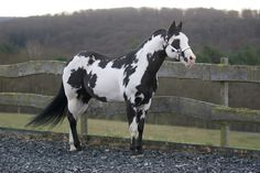 black overo - Paint Horse stallion Colonel Coosader