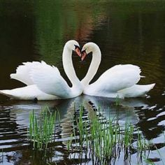 Heart Formed by Swans....Great symbol of love....Swans mate for life.