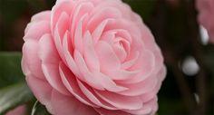 Spotlight on: Camellia Oil Camellia Oil, Spotlight, Rose, Health, Flowers, Plants, Blog, Pink, Health Care