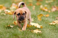 Puggle Full Grown › dog pictures