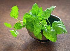 La mélisse (melissa officinalis) Bienfaits et utilisations pour la santé.                                                                                                                                                                                 Plus