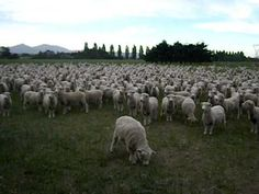 Funny video of sheep answering cameraman in NZ. Click to see more info about New Zealand.