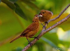 Female white lined tanager feeding her baby