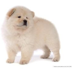 Chow Chow Puppy Wallpaper Puppies ❤ liked on Polyvore featuring animals, dogs, animales, animali and pets