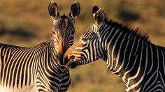 Güney Afrika Gezisi | JetsetDoğa Harikası Güney Afrika Geniş otlakları, telaşlı akan nehirleri ve vahşi yaşam oyuncuları ile Kruger Park; kumsalları, üzüm bağları, limanları, koyları, Ümit Burnu ve şarapları ile dünyanın en güzel şehri Cape Town...