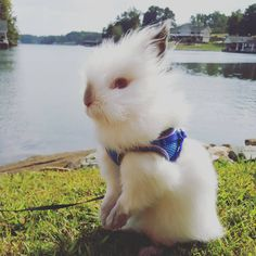 """Sugar pie, honey bunch.... #sugar #bunny #rabbit #sugartherabbit #sweet #whiterabbit #bunnylove #honeybunny #instabun #instapic #bunniesofinstagram…"""