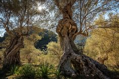 https://flic.kr/p/EpU6jh | Mallorca - veteran trees | If you drive from Palma to Sóller, don't take the tunnel. Ride the beautiful, winding road. The trees are looking for new visitors:). Seen this old olive tree in Mallorca, Spain.