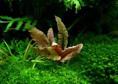 1000+ images about aquatic plants on Pinterest | Aquarium ...