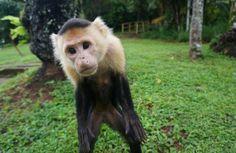 Parque Nacional Coiba, Veraguas, Panama — by Antonio and Amanda @ The Adventure Junkies. Curious monkey on Coiba Island. #cuteanimals #monkey #funny
