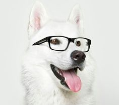 A beautiful hipster husky it is one of the cutest breeds I have ever seen