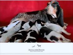 BASSET BLEU DE GASCOGNE – Elevage d'An Naoned, plus de 30 ans de sélection canine