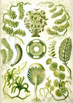 Ernst Haeckel - algae