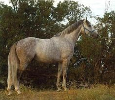 German Sport Horse stallion Cyklon