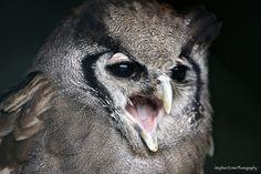 Milky Eagle Owl Portrait by Stephen Ennis Photography, via Flickr