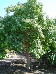 Casimiroa edulis = 'White Sapote',  Fruiting tree related to Citrus family.