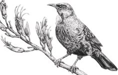 tui drawing - Google Search Sketches, Drawings, Image, Glass Etching, Painting, Art, Etching, Art Template