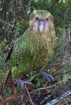 The Kakapo Parrot of New Zealand, Strigops habroptilus also called Owl Parrots. They are large, flightless, nocturnal, ground dwelling parrots that live in New Zealand. It is the world's only flightless parrot. Pretty Birds, Beautiful Birds, Animals Beautiful, Cute Animals, Flightless Parrot, Kakapo Parrot, Rare Birds, Exotic Birds, Colorful Birds