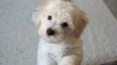 Bichon Bolognese Dog Puppy