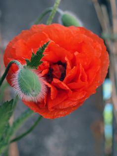 poppy 2 | Flickr - Photo Sharing!