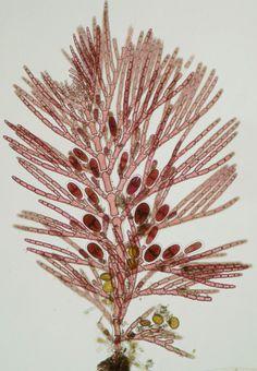 Antithamnion villosum - a red seaweed.