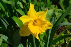 Narsissi kukkii kukkii kukkii