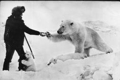 This real photo, taken in 1950 shows a Soviet patrolman handing a can of condensed milk to a polar bear sow while a playful cub embraces his leg. Soldiers stationed in the Chukchi Peninsula took pity on the many bears they shared the landscape with, who became emaciated during an especially cold winter. Condensed milk was plentiful, and the soldiers offered them as gifts to the hungry (and extremely dangerous) animals.
