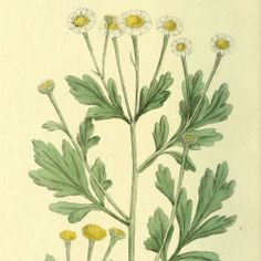 Feverfew - Drinking feverfew tea, or eating a few fresh leaves leaves each day can reduce the severity and frequency of migraine headaches for some people - circa 1807