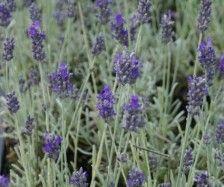 Lavendel (Lavandula 'Richard Gray')-directplant